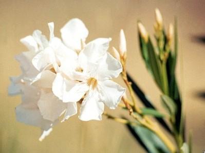 5-National-Symbols-White-Butterfly-Jasmine